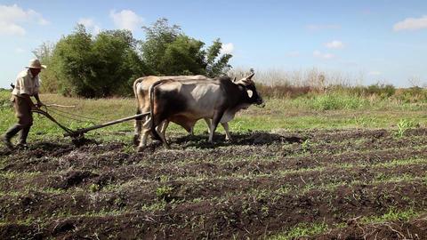 Cuban Farmer Working in The Field Hispanic Man wit Footage