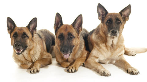 Group of Purebred Alsatian Dogs on White Background Footage