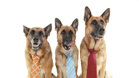 Group Of Purebred Alsatian Dogs On White Background stock footage