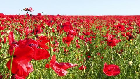 Endless Poppy Field Footage