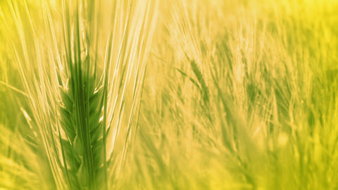 Background with Ears of Wheat Stock Video Footage