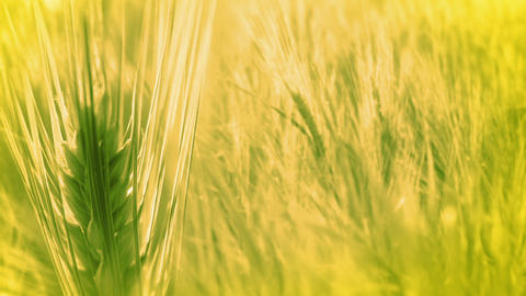 Background with Ears of Wheat Footage