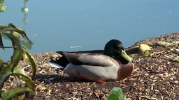 Male Mallard Duck stock footage