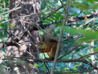 Squirrel on branch eating a nut. 320x240 Stock Video Footage