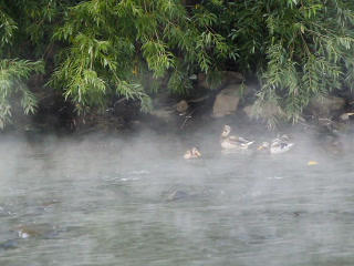 Ducks in the fog. 320x240 Stock Video Footage