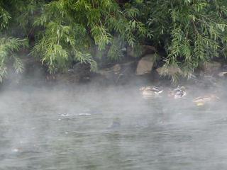 Ducks in the fog. 320x240 Footage