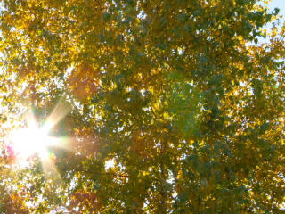 Sun behind birch branches. Time Lapse. 320x240 Stock Video Footage