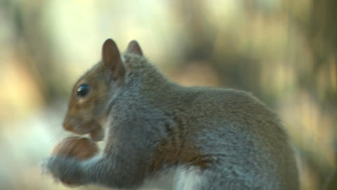 squirrel close up 11 Stock Video Footage