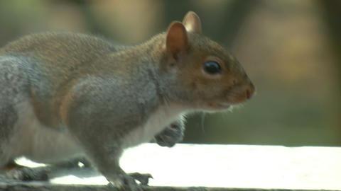 squirrel close up 13 Footage