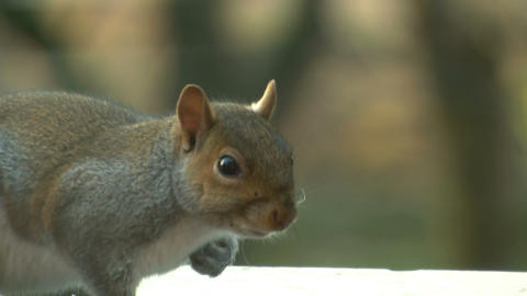 squirrel close up 13 Stock Video Footage