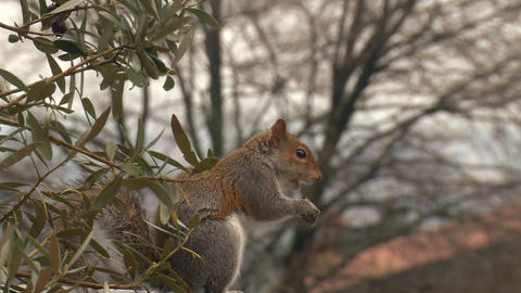 squirrel close up slow motion 02 Stock Video Footage