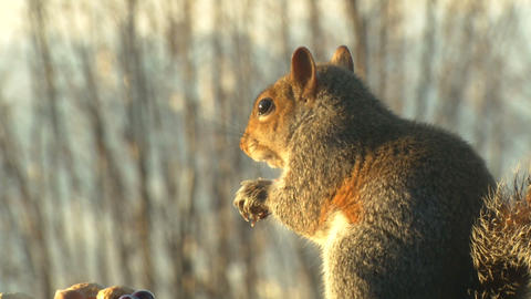 squirrel close up slow motion 04 Stock Video Footage