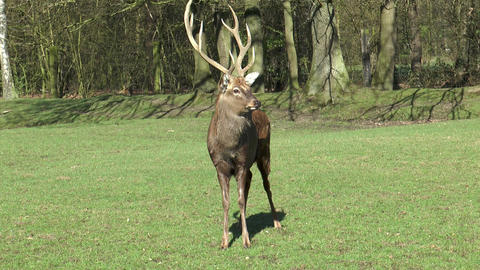 european fallow deer (dama dama) Footage