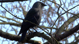 House Crow (Corvus splendens) Footage