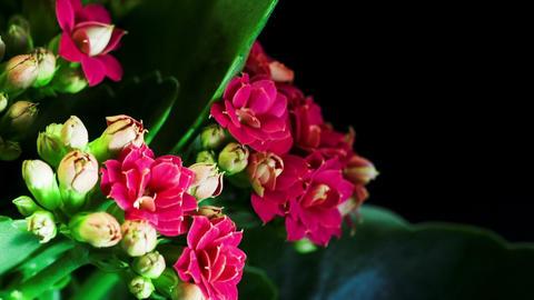 Kalanchoe flower Footage
