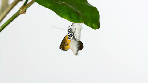 TL Butterfly Emer On Leaf stock footage