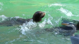 Sea lions Californian Footage