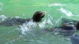Sea lions Californian Footage