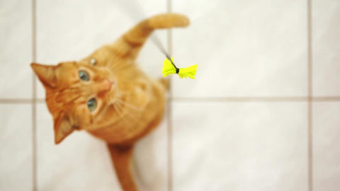 Disabled Feline Jumping For String Toy stock footage