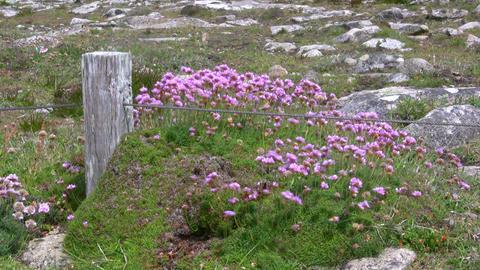 Pink Flowers Footage