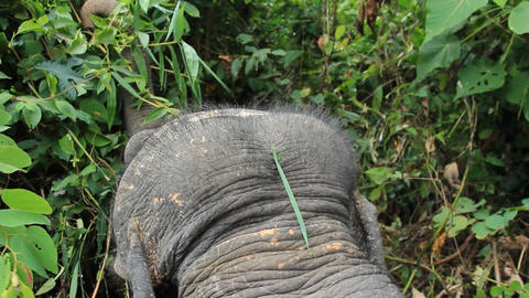 Form The Back Of Asian Elephant 0