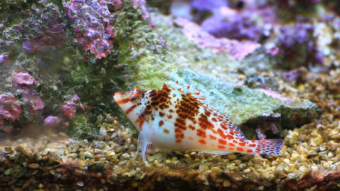 Spotted Hawkfish (Cirrhitichthys Aprinus) On Aquar stock footage