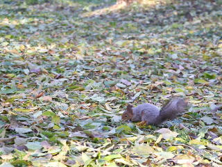 Squirrel in the park produces nuts. 320x240 Footage