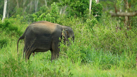 asian wild elephants Footage