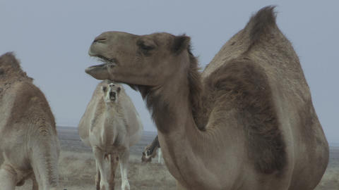 African Camel in Herd Chews Closeup - FT0010 Footage