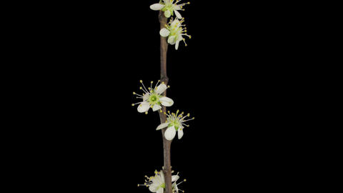 Time-lapse of blooming plum tree branch 3a1 Footage