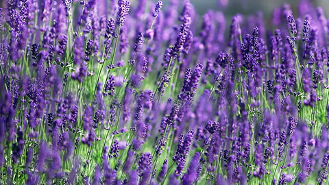 Field Of Lavender stock footage