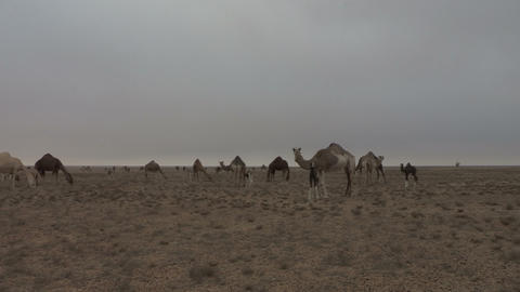 Western Sahara Camel Herd 1 - FT0016 Footage