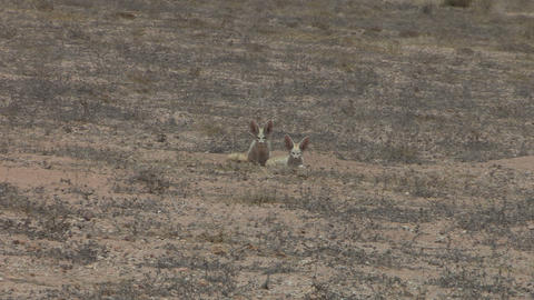 Western Sahara Desert Foxes - FT0026 stock footage