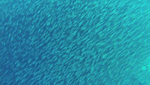 Dense Shoal Of Sardines stock footage