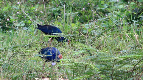 Purple swamphen Live Action