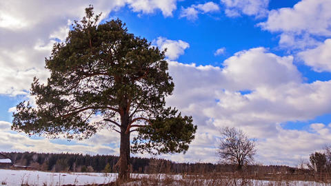 Pine against the sky. Time Lapse. 1280x720 Footage
