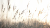 Solftly Trembling Plume Reeds In Bright Twilight S stock footage