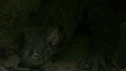 The Komodo dragon (Varanus komodoensis) Footage