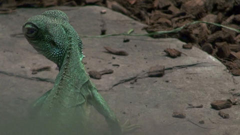 Green lizard discovered in the dark Footage