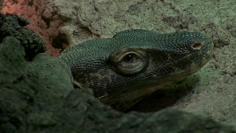 The Komodo dragon (Varanus komodoensis) Footage