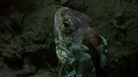 Inland Bearded Dragon, In Dark On The Rocks stock footage