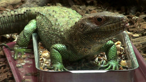 Caiman Lizard stock footage