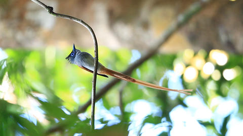 Asian paradise flycatcher Footage