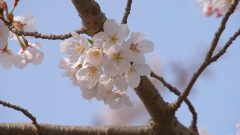 2160p (12bit RGB4:4:4) Sakura Filmmaterial