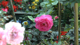 Full bloomed UK roses in different colors.(ROSE--1 Footage