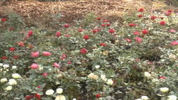 Full bloomed UK roses in different colors.(ROSE--2 Footage