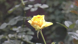 "UK Roses ""Golden Tower"" About To Bloom To Full stock footage"