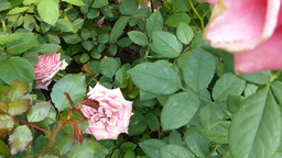 Close-up view of pink color UK roses.(ROSE--47) Footage