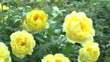 Full Bloomed Yellow Color UK Roses. (ROSE--78) stock footage