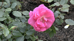 Close-up View Of A Full Bloom UK Pink Color Rose.( stock footage